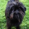 Black Affenpinscher Dog