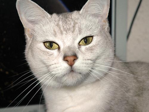 Burmilla Cat – Cat Breeds Guide
