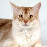 Somali cat named BadiBoutchou Waldo's Sweet_Lullaby (photo Planchard)