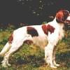 Irish Red and White Setter1