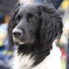 Dog Breed Portrait Large Munsterlander Dog