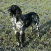 Large Munsterlander Dog with a proud stance