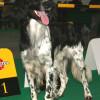Happy dog photos - Large Munsterlander Dog smiling at a dog show