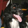 Large Munsterlander dog full face profile