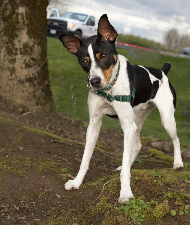 Long-legged Rat Terrier – Dog Breed Guide