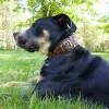 Perro de Presa Mallorquin black coated