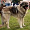 Sarplaninac dog on a leash standing position