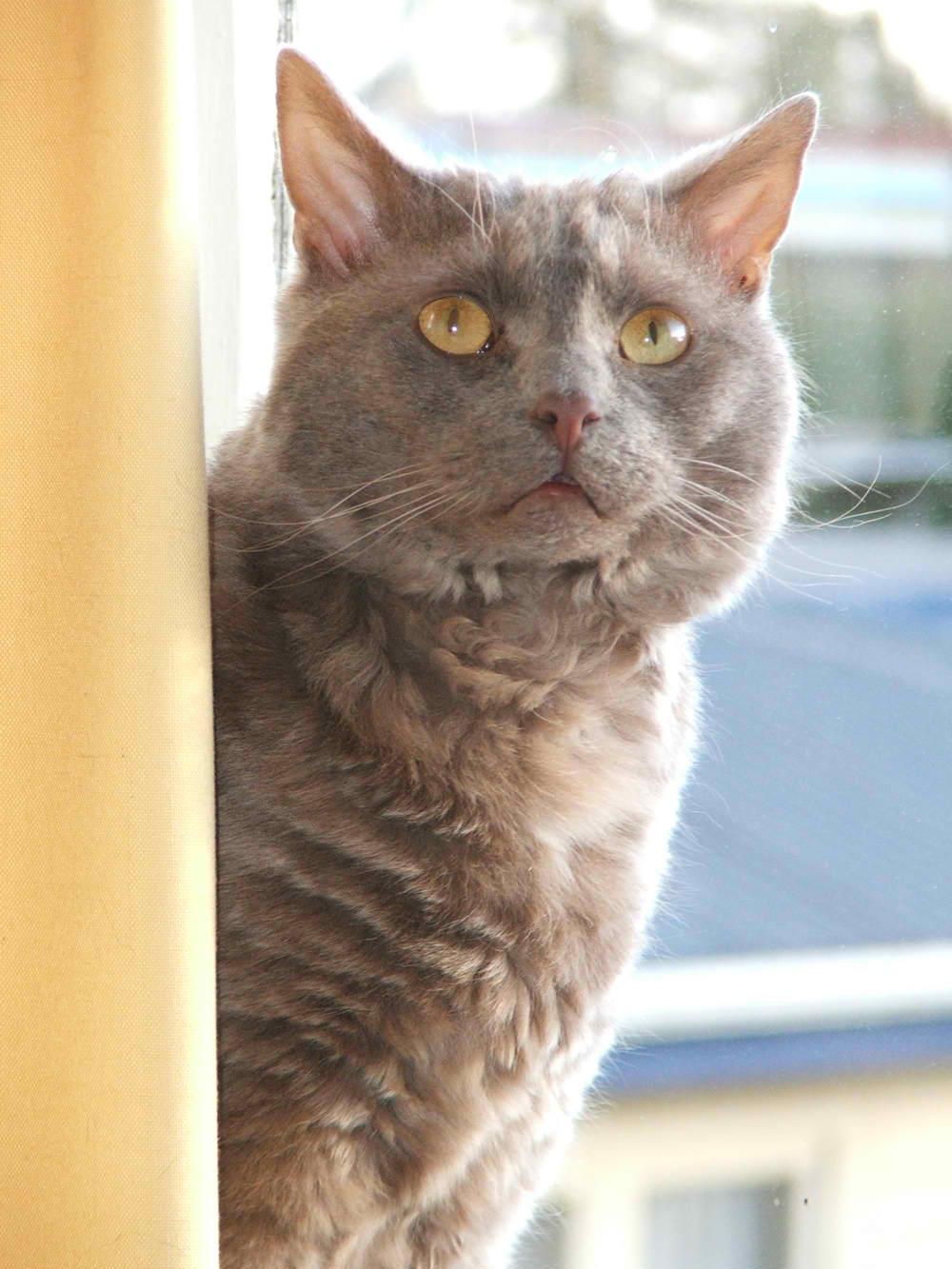 Tasman Manx Cat – Cat Breed Guide