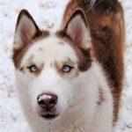 Brown and white Labrador Husky