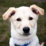 Puppy Labrador Husky