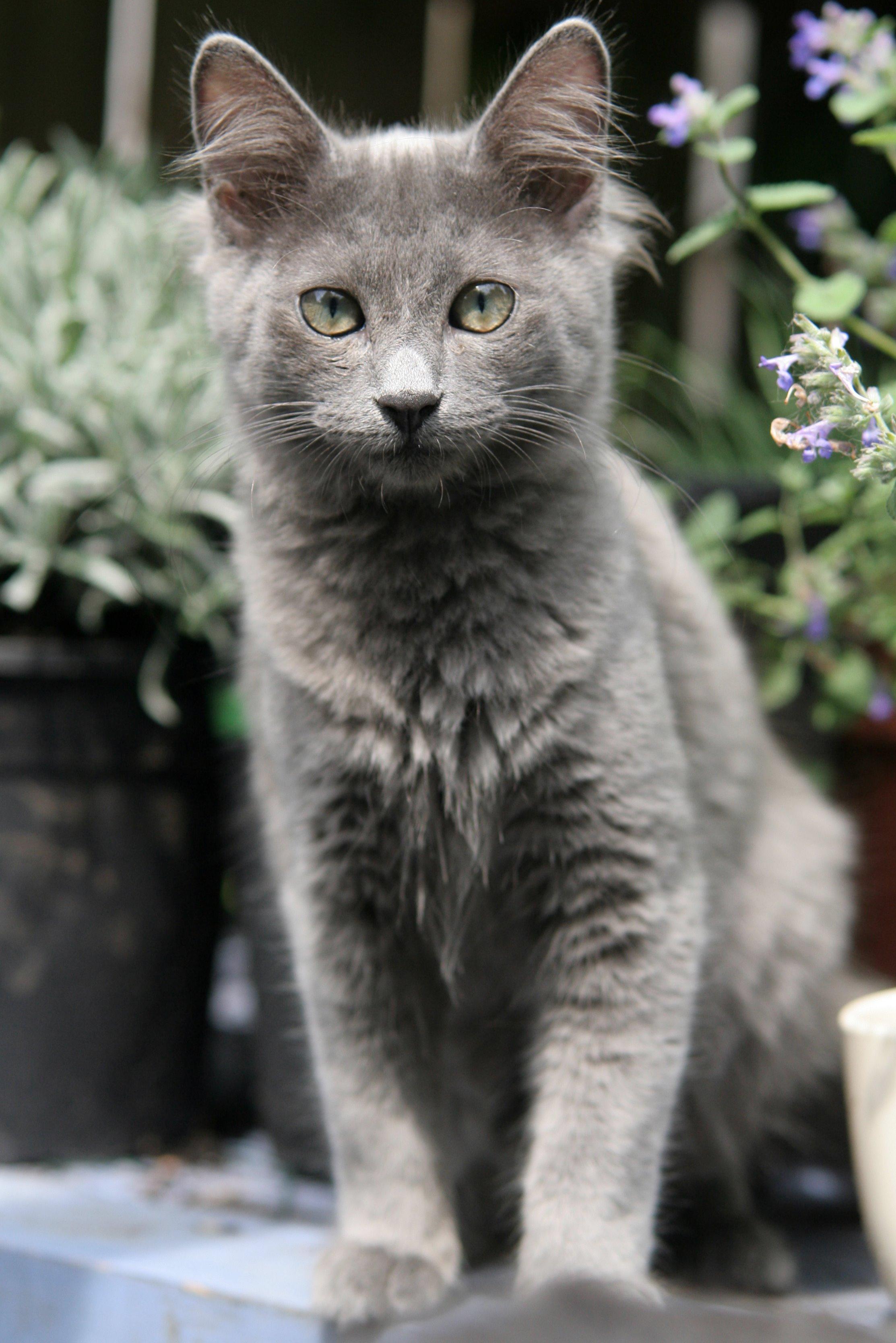 Nebelung Cat – Cat Breeds Guide