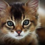 somali cat breed - somali kitten