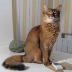 Somali cat bred in France