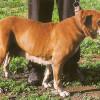 Female Mallorquin Mastiff